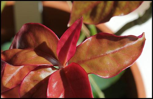Pereskia aculeata (3)