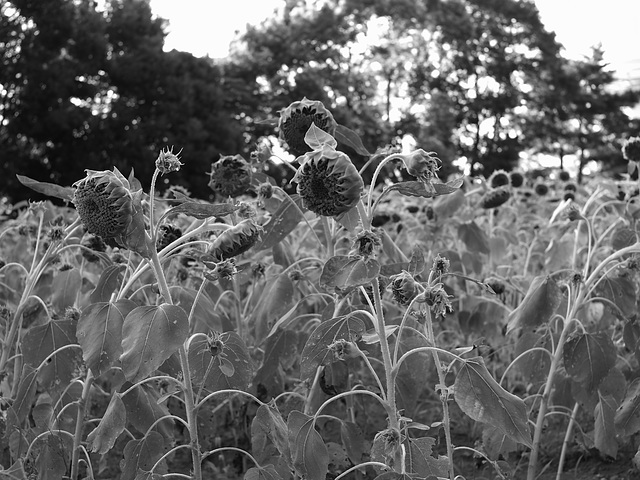 Young sunflowers