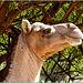 Oman : il dromedario vive bene qui : Sulle alture di Ṣalāla