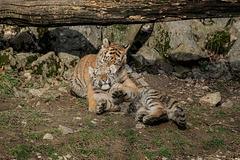 BESANCON: La Citadelle, Le tigre et les tigreaux. 33