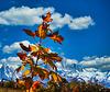 1 (9)a...austria young tree