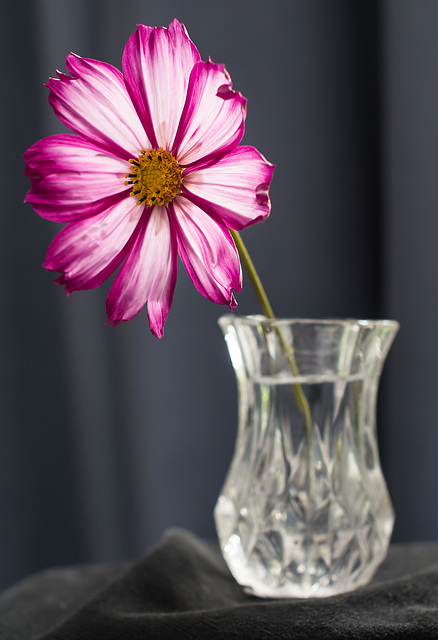 Sept 07: cosmos in a vase