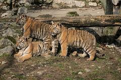 BESANCON: La Citadelle, Le tigre et les tigreaux. 34