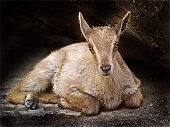 Portrait Himalaya Tahr Baby