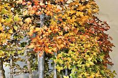 Bonsai Trident Maple #3 – United States National Arboretum, Washington, DC