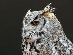 Great Horned Owl / Bubo virginianus