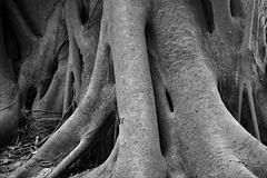 'Dinosaur' Tree (BW)