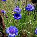 Blue Cornflowers.