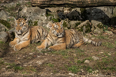 BESANCON: La Citadelle, Le tigre et les tigreaux. 35