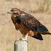 Juvenile Swainson's Hawk / Buteo swainsoni