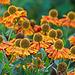 Helenium Flowers