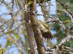 Pic vert  (Picus viridis)  (European Green Woodpecker)