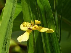 Tropical flower, Asa Wright, Trinidad