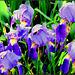 Nőszirom  Iris