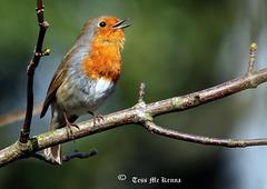 Eurasian Robin copy