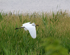 12/50 grande aigrette-great egret