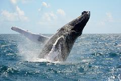 Dominican Republic, The Humpback Whale in Samana Bay