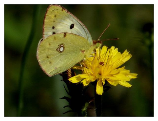Premier papillon avent le printemps(le citron)