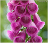 Digitale Pourpre (Digitalis purpurea)