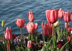Tulpen am Bodensee