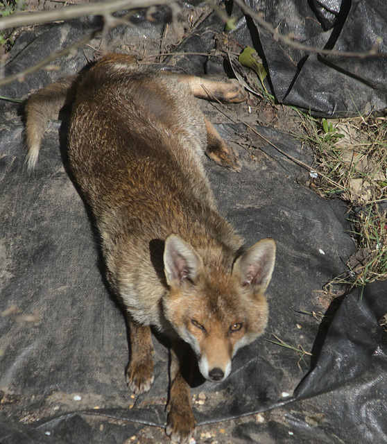 Fox in the backgarden EF7A02050