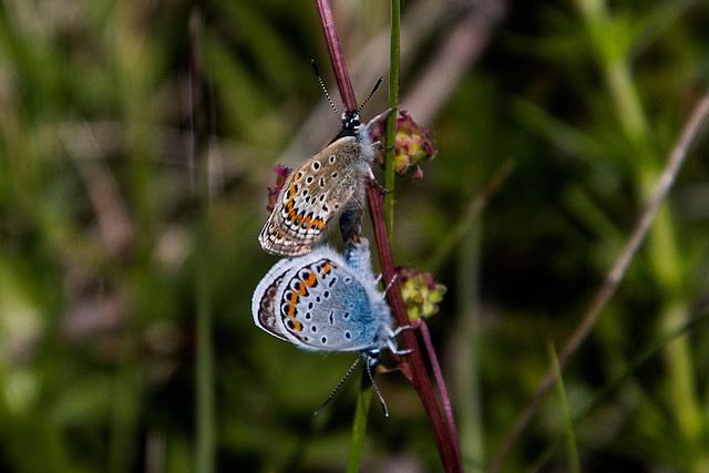 20170518 3152VRAw [A+H] Gemeiner Bläuling (Polyommatus karus), Neusiedler See