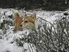 Even a little snow is a lot when you're a Corgi