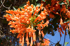 Namibia, Windhoek, Flowers of Pink Grevillea