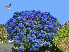 Magnificent Bugalez Blue Hydrangea DSC 0435ac