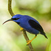 Purple Honeycreeper male, Asa Wright Nature Centre, Trinidad