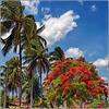 Maceio : Palme e Flamboyant a Puaripeira