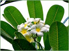 MAHE' : un bel fiore di frangipane nel Botanical Park