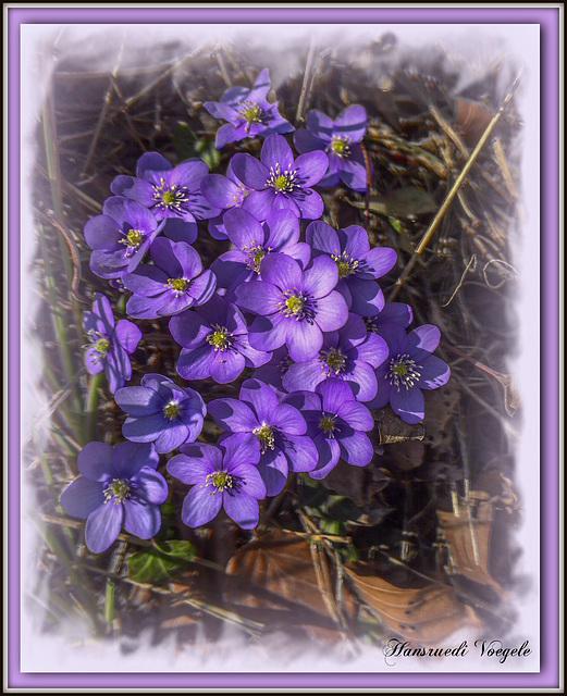 Leberblumen