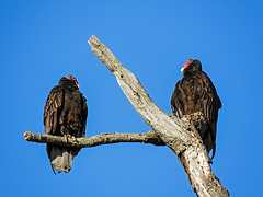 Turkey Vultures, Day 2, Rondeau Provincial Park