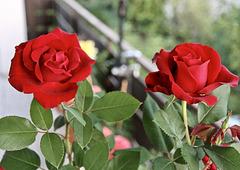 Rose im Blumenkübel