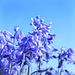 IMG 9726 bluebells