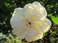 rose Petticoat 2017