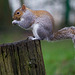Squirrel balancing (2)