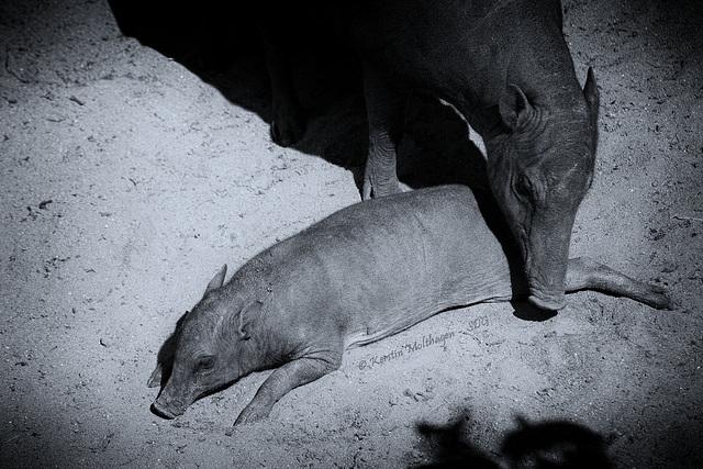 Hirscheber - Mutter und Kind (Wilhelma)
