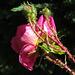rose Poupoune