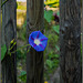 HFF - Schönheit am alten Zaun