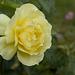 Sept 12: rose