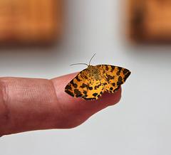 Kleiner Schmetterling auf meiner Fingerspitze (Pantherspanner - gelber Fleckenspanner)