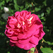 rose Poupoune création J-P Vibert