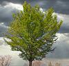 1 (47)...austria ...tree