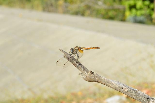 Violet Dropwing f (Trithemis annulata) 19-09-2012 09-30-37