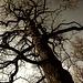 Knorrige alte Eiche - Old gnarled oak