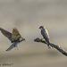 Hirondelles de rivage juvéniles (Riparia riparia - Sand Martin)