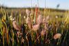 Trifolium arvensis, Pé-de-lebre, Penedos