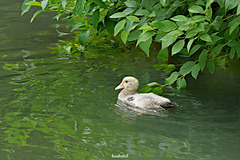 Juvenile Muscovy Duck   /   July 2018